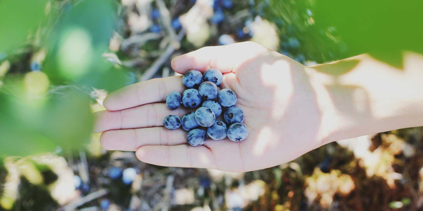Close up of a person holding a handful of blueberries