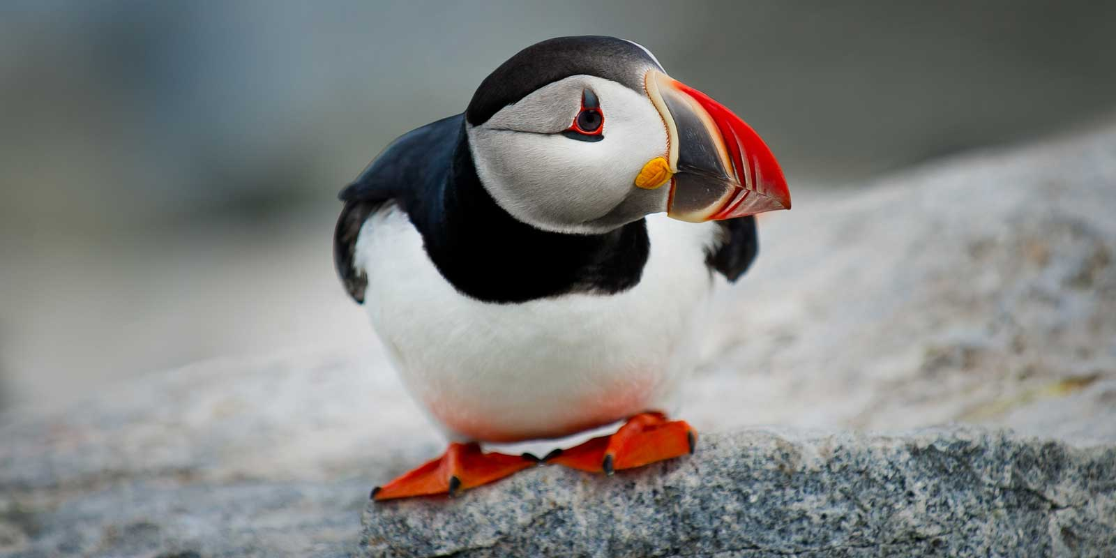 Close up shot of a puffin crouching on a rock.