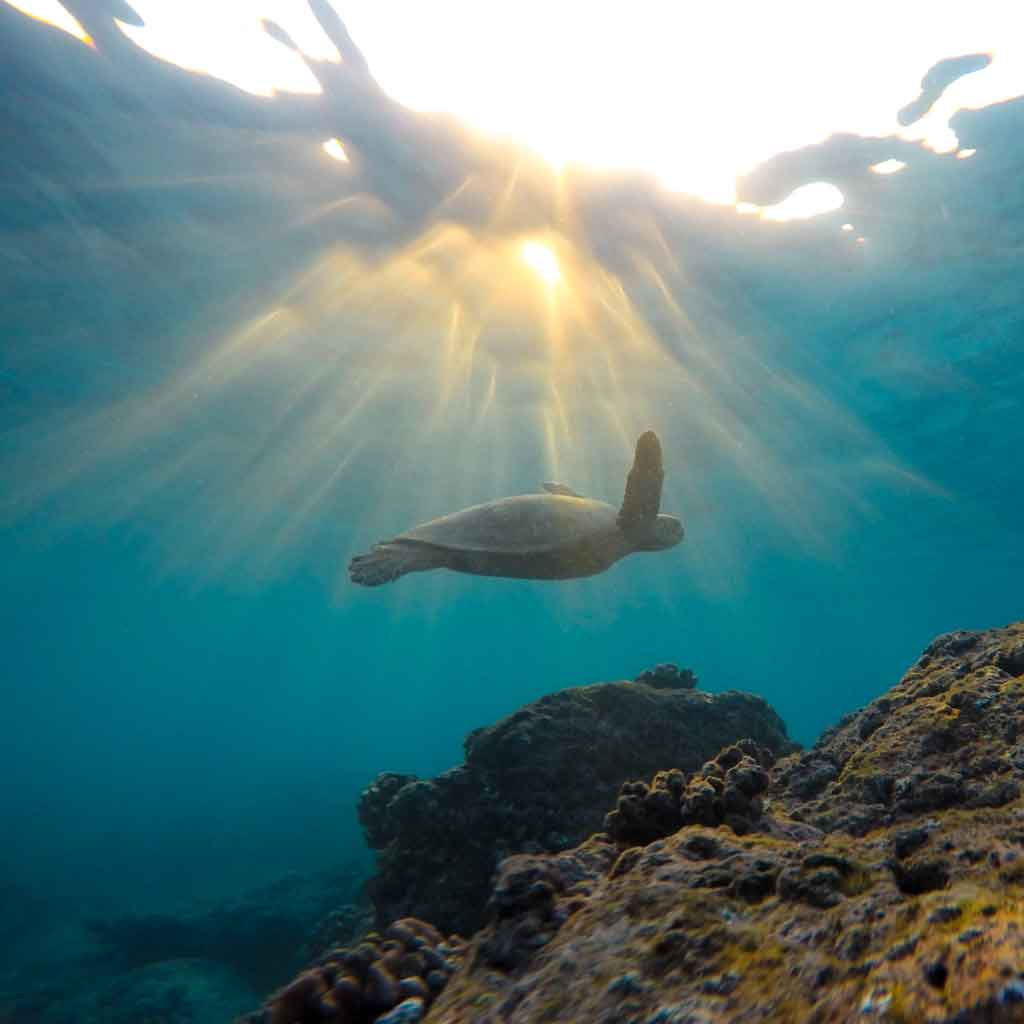 A green sea turtle swimming in the ocean.