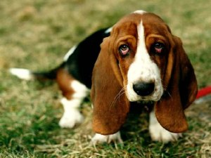 Basset_hound_dog_Sad_puppy_Wallpaper_2560x1920_www.wallpaperhi.com_