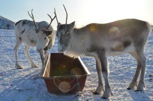 Rendieren, Inga Sami Siida, Vesterålen, Noorwegen