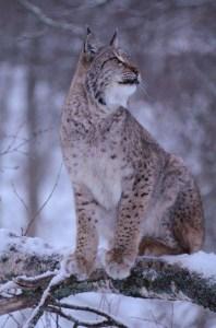 Lynx Polar Park, Bardu, Noord-Noorwegen