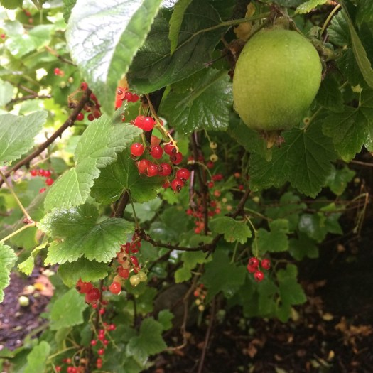 Apples and red and black currants in the food forest.