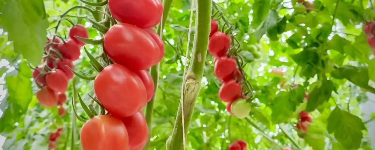 Pomodoro-crisi-Pavan-serre