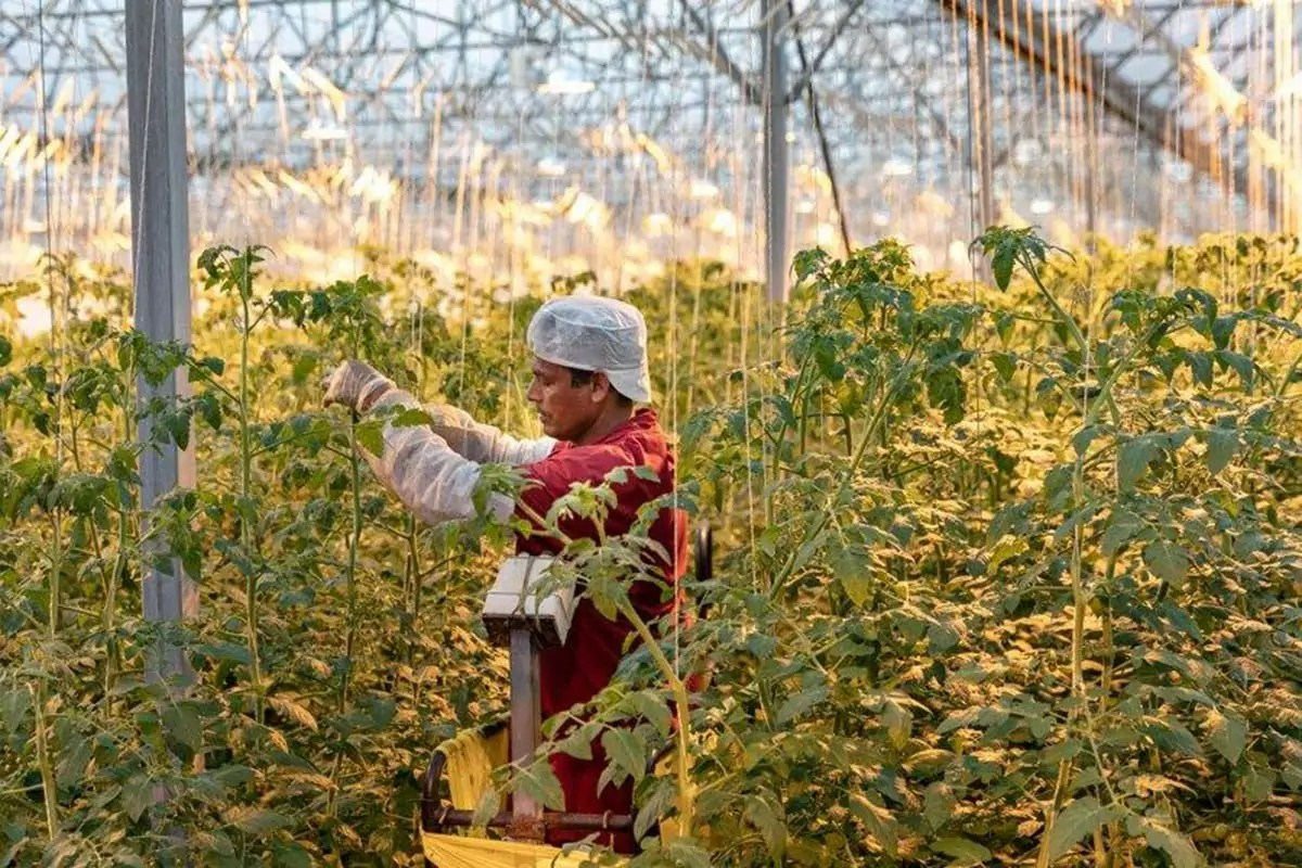 Gandini-pomodori-operatore-in-serra-tecnologica-luce-artificiale-2020