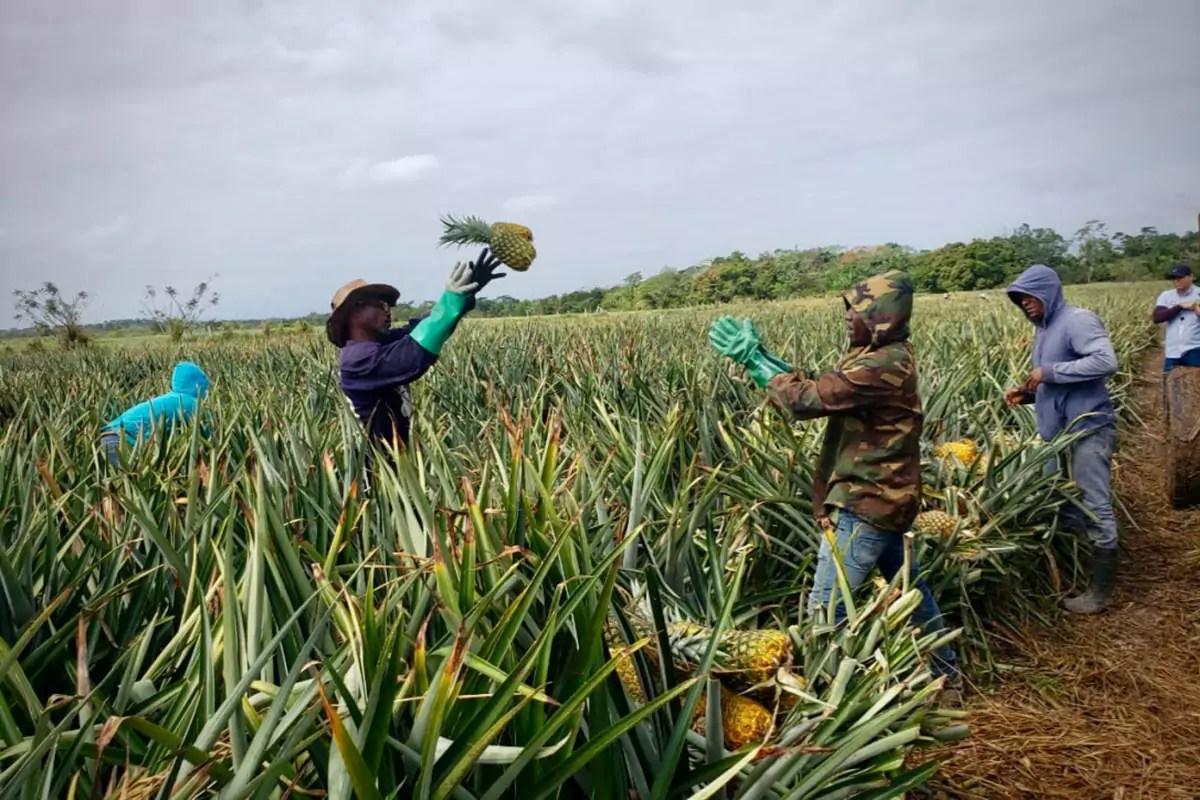 Nicofrutta-ananas-repubblica-dominicana-Nicoverde-raccolta