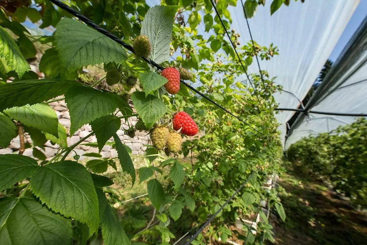 Garden-Frutta-lampone-produzione