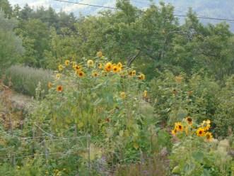 sunflower in distance