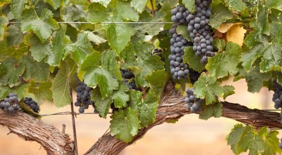 Ствол винограда