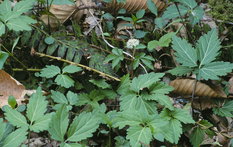 Image Result For What Does Ginseng Look Like In The Spring