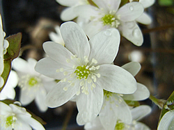 Close up of the white flowering form of Hepatica nobilis var. acuta.