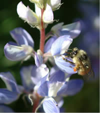Bombus flavifrons on a lupine flower.