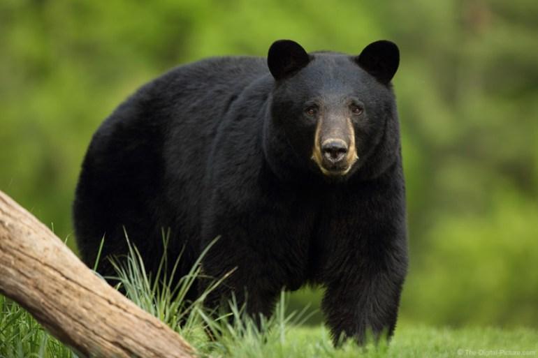 black bear in nature
