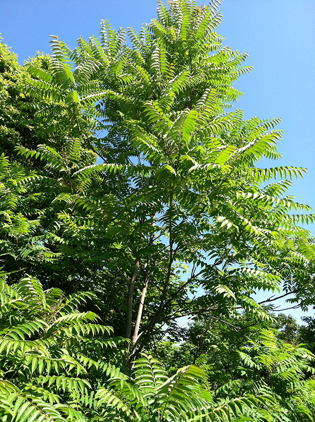 Photo of Ailanthus Tree