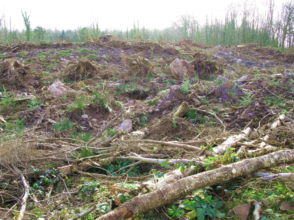 Clearcut_at_Raheen_Wood_IMG_0912.JPG