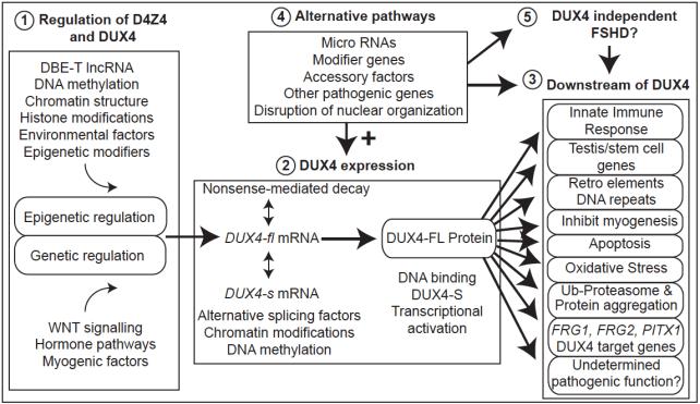 HimedaTherapySchematic