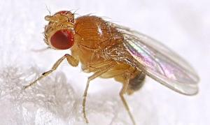 fruit-fly-drosophila-melanogaster-male-by-max-westby-creative-commons-by-nc-sa-1