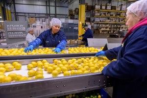 lemons on conveyer belt