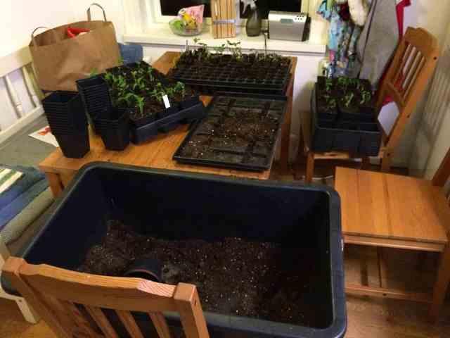 En dag ska jag ha ett eget rum för att dra upp plantor och plantera om. Det här är en verksamhet som tar över hela köket.