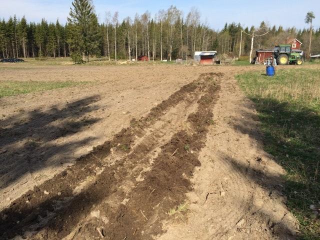 Tretti meter rakt fram med traktor och potatiskupare. Steg ett för att plantera aronia.
