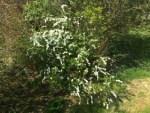 Brudspirea blommar med vita blommor.