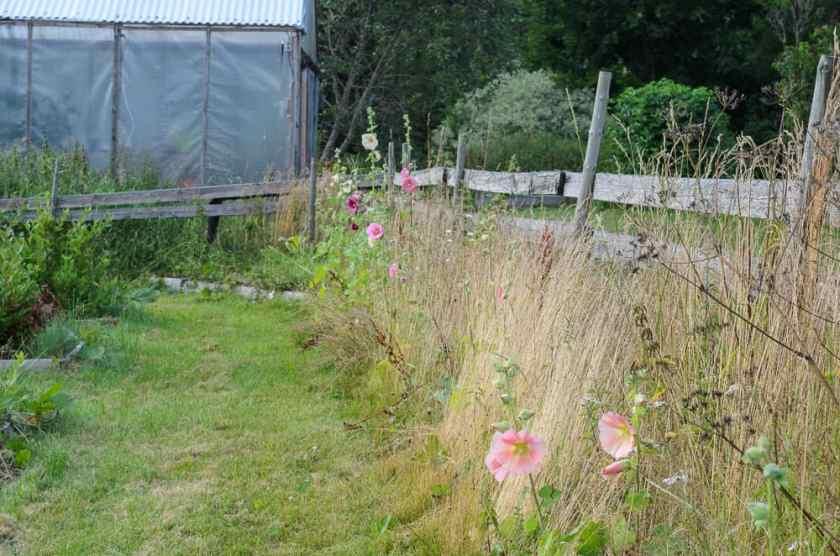 Förra årets frösådd visar sig nu i all sin prakt. Och en stockros klarar sig hyfsat även i en trädgård som ger utrymme åt vilda växter.