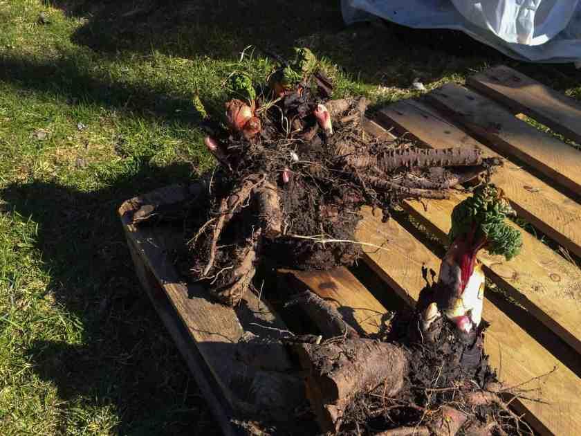 Rabarber får rejäla rötter efter några år och av en sån här klump kan man få ett halvdussin nya plantor. Ska man dela rabarber är det bra att spola bort jorden från rotklumpen så man ser vad man gör.