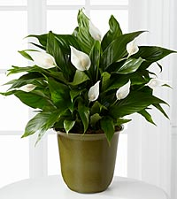 Down to Earth Peace Lily Plant