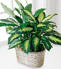The FTD® Spathiphyllum and Dieffenbachia