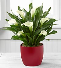 The FTD® Starbright Holiday Calla Lily by Better Homes and Gardens®