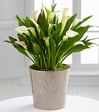 The FTD® Silver Linings Calla Lily Plant by Better Homes and Gardens®