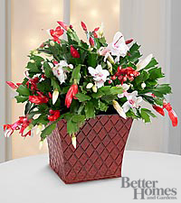 The FTD® Peppermint Perfection Christmas Cactus by Better Homes and Gardens®