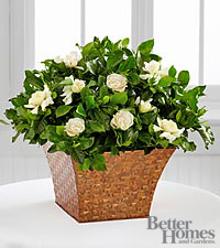 The Better Homes and Gardens® Serene Settings Gardenia Plant
