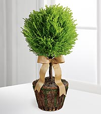 New Heights Lemon Cypress Topiary