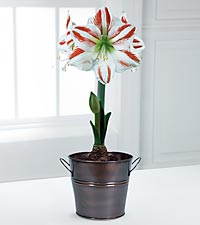 Holiday Sydney Amaryllis Indoor Grow Kit