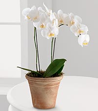 White Glamour Orchid