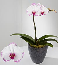 Smithsonian Painted Wonder Phalaenopsis Orchid