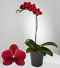 Smithsonian Royal Beauty Phalaenopsis Orchid