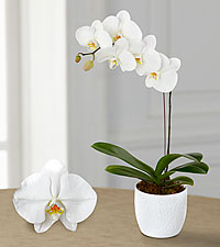 Smithsonian Joyful Journeys Phalaenopsis Orchid