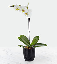 Smithsonian Tranquility Phalaenopsis Orchid