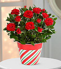 Jolly Holiday Mini Rose