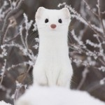 Adorable Ermine in Snowy Landscape-15