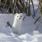 Adorable Ermine in Snowy Landscape-3