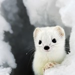 Adorable Ermine in Snowy Landscape-4