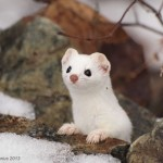 Adorable Ermine in Snowy Landscape-6
