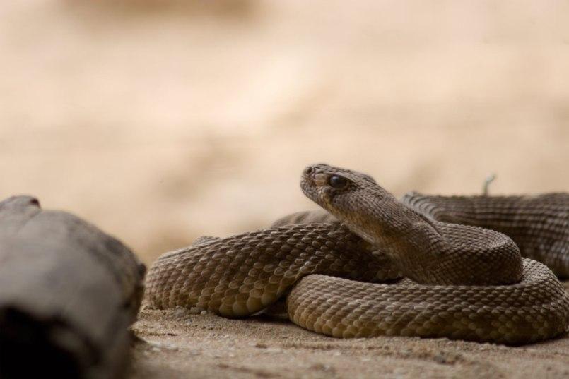 Eingerollte Schlange mit erhobenem Kopf und retuschierten Übergängen.