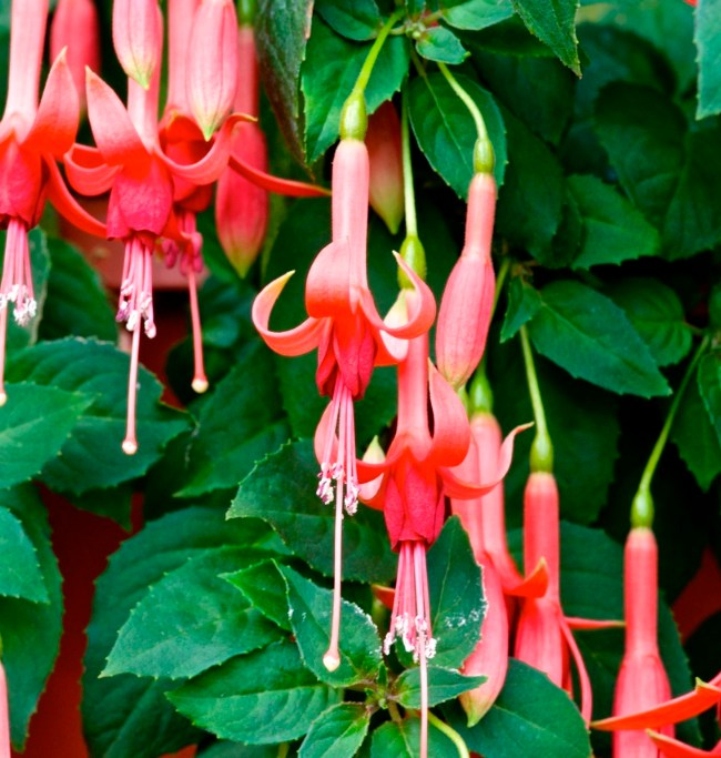 'Willie Tamerus' is the Fuchsia of the Week 10/2015.