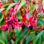 'Naaldwijk 800' is the Fuchsia of the Week 15/2015.