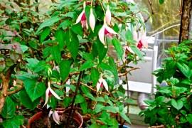 Fuchsia 'Nordseebrandung'