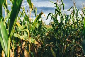 Corn field   Corn is the primary feedstock for Mexico's E10
